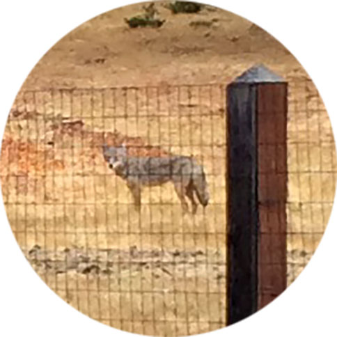 coyote_close_up