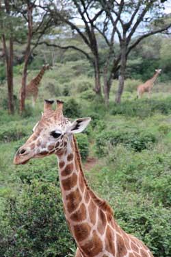 IMGx_giraffe7675