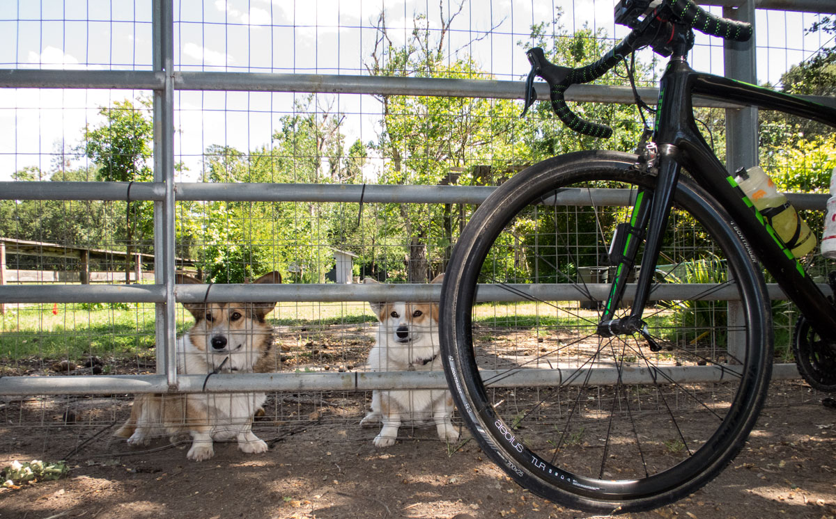 The famous Corgis of Olive Hill Road, known for sleeping in (so they're never seen by our Tuesday/Thursday-morning ride) but they're usually out looking for someone to stop by and pay them attention on Sunday afternoons.